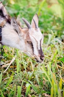 A young goat eats grass on the pasture