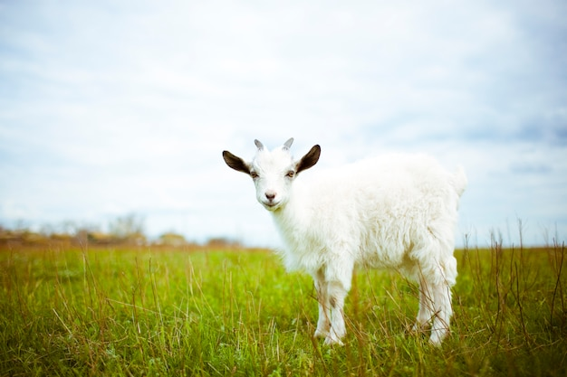 A young goat grazes in a meadow and smiling. he looks into the camera.