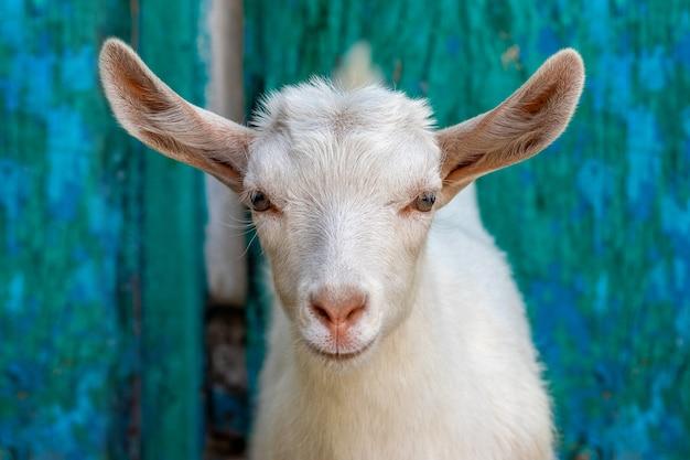 農場の庭で若いヤギ、若いヤギのクローズアップの肖像画
