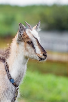 A young goat with horns on a blurry background