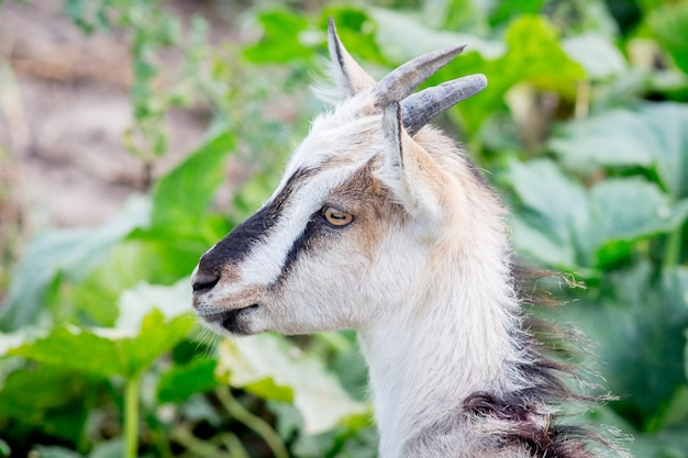 Young goat with horns on green grass background_