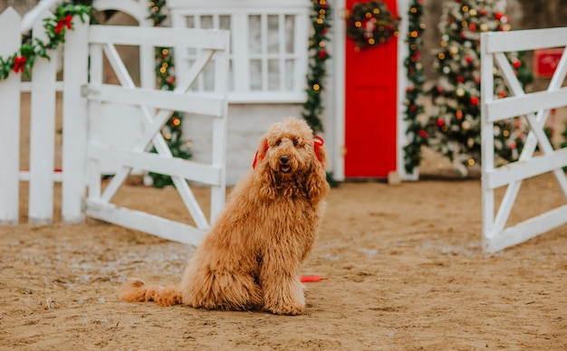 Young golden doodle doos dog sitting against christmas house with white fence. copy space. holiday concept