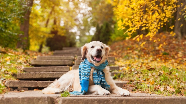 Young golden retriever dog wearing blue scarf sitting on concrete stairs near fallen yellow leaves