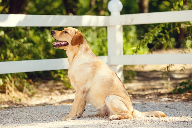 Young golden retriever dog with pink tongue in summer park