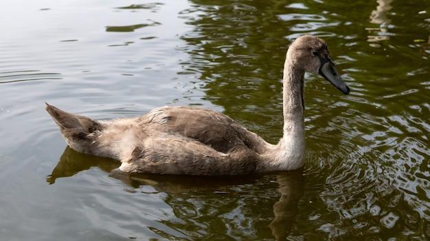 물에 떠 있는 젊은 우아한 갈색 백조