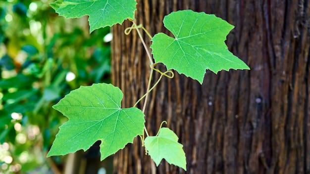 明るい太陽光線のぼやけた緑の背景に若いブドウのつる
