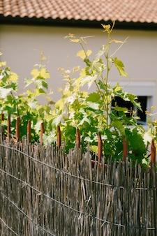 タイル張りの家の背景に竹柵があるため、若いブドウが育ちます