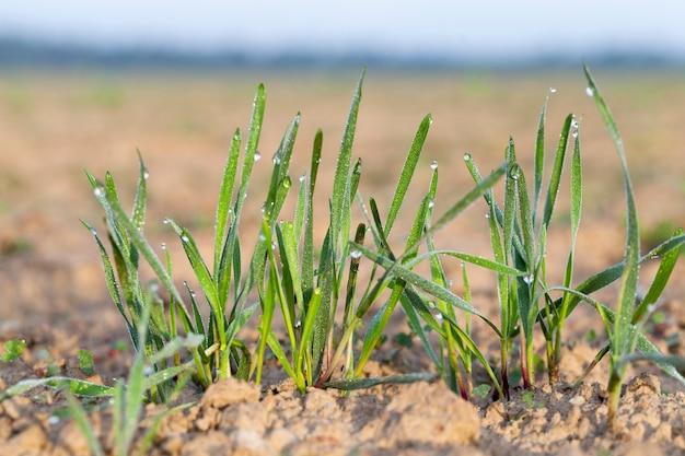 Молодые травянистые растения, крупный план - сфотографированные крупным планом молодые травяные растения зеленая пшеница, растущие на сельскохозяйственных полях, сельское хозяйство, на фоне голубого неба