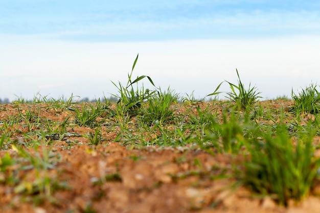 若い草の植物、クローズアップ-写真は、農業分野、農業、秋の季節に成長している若い草の植物の緑の小麦をクローズアップします。