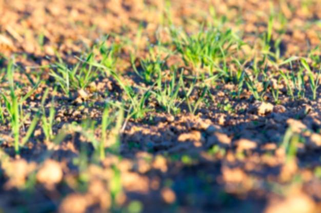 젊은 잔디 식물 근접 촬영 녹색 밀 분야에서 성장