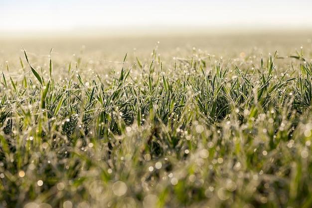 若い草の植物、クローズアップ写真は若い草の植物をクローズアップ農業分野で成長している緑の小麦、農業、葉の朝露、焦点ぼけ