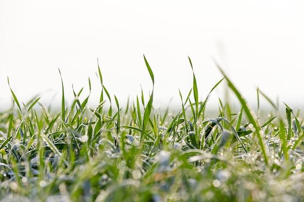 젊은 잔디 식물 근접 촬영 가까이 촬영 젊은 잔디 식물 녹색 밀 농업 분야에 성장 녹색 밀 잎에 농업 아침 이슬