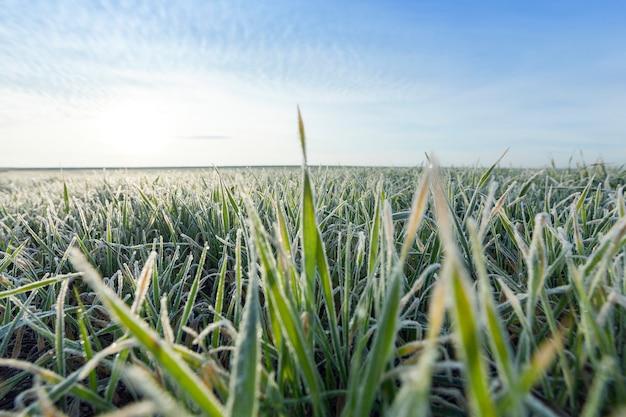 Молодые травы растений крупным планом сфотографированы крупным планом молодые травяные растения зеленая пшеница, растущая на сельскохозяйственных полях, сельское хозяйство, утренний мороз на листьях