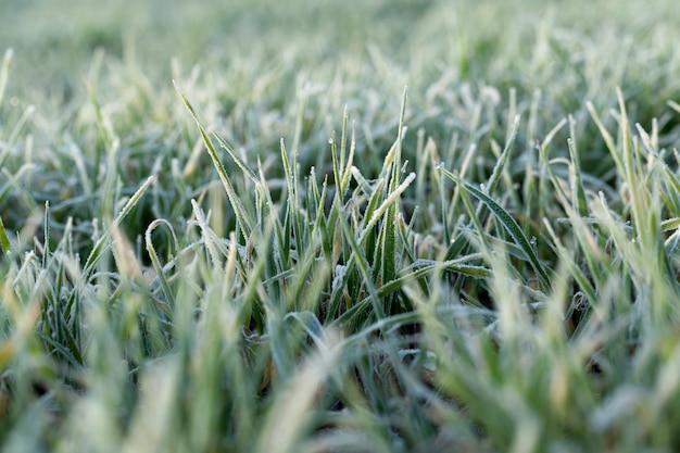 젊은 잔디 식물 근접 촬영 가까이 촬영 젊은 잔디 식물 녹색 밀 농업 분야에 성장 녹색 밀 잎에 농업 아침 서리