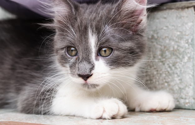 Young gray-white cat posing for photo.
