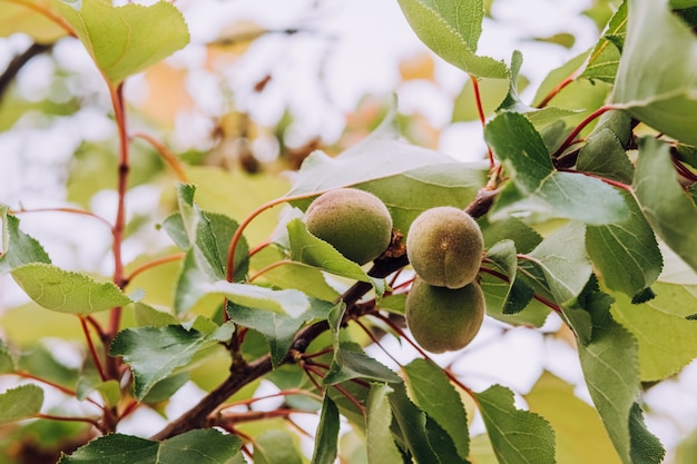 Young, green apricots hanging on tree branch