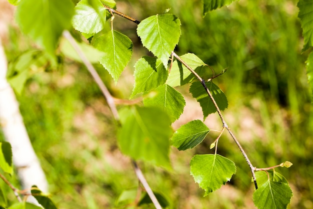 Young green birch leaves in the spring season