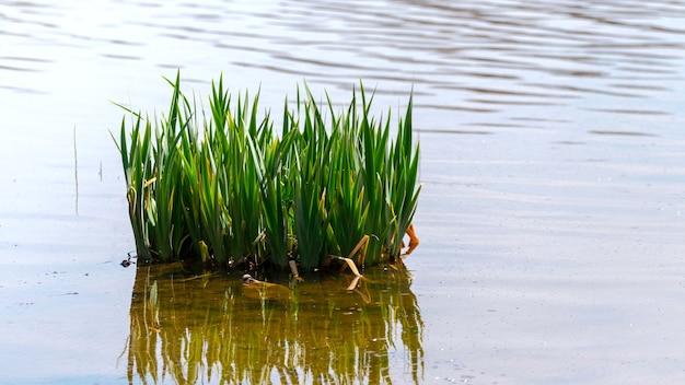 澄んだ水にサトウキビを反映して、川の若い緑のサトウキビ