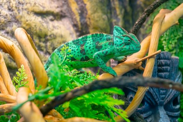 枝に若い緑のカメレオン。かわいいペット。動物の保護着色。