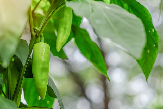Young green chili plant on field agriculture in garden