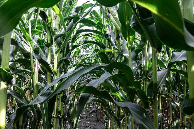 Giovane mais verde che cresce sul campo, sfondo. texture da giovani piante di mais, sfondo verde. Foto Gratuite