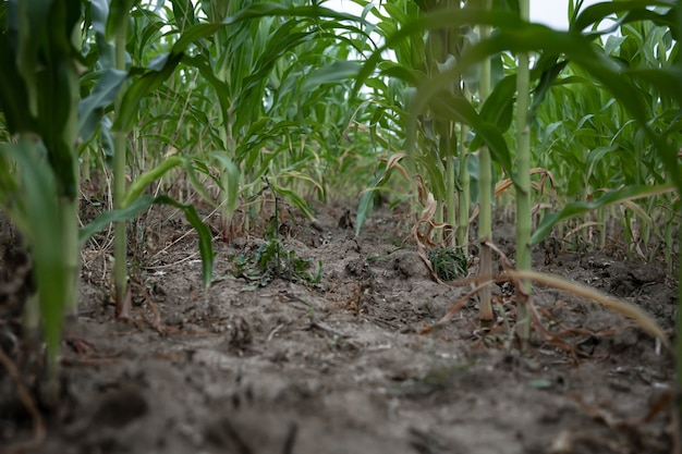 Молодая зеленая кукуруза, растущая на поле, фон. текстура из молодых растений кукурузы, зеленый фон.