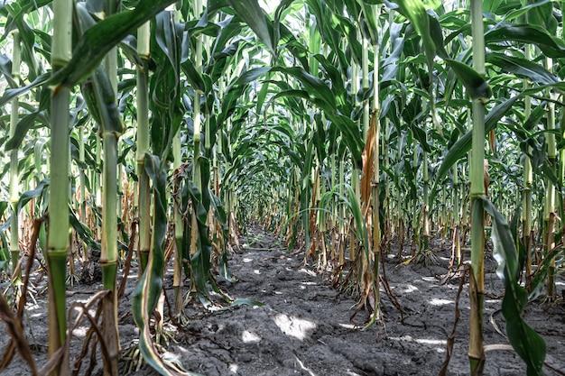 Молодая зеленая кукуруза, растущая на фоне поля