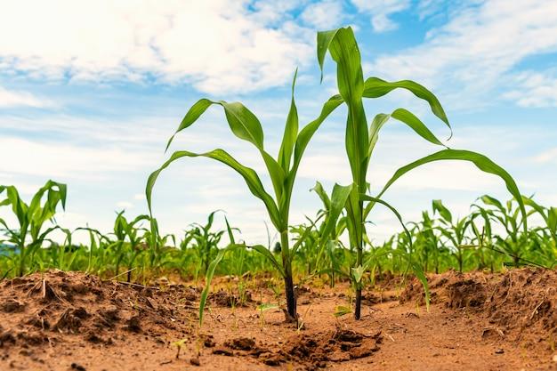 農場の農業で若い緑のトウモロコシ