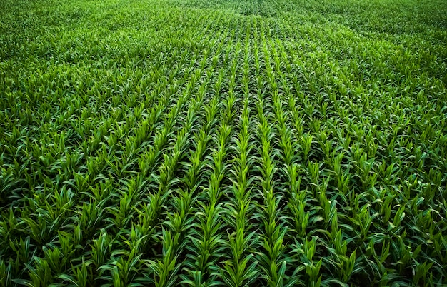 어린 녹색 옥수수가 자라고 있습니다. 드론으로 찍은 사진.