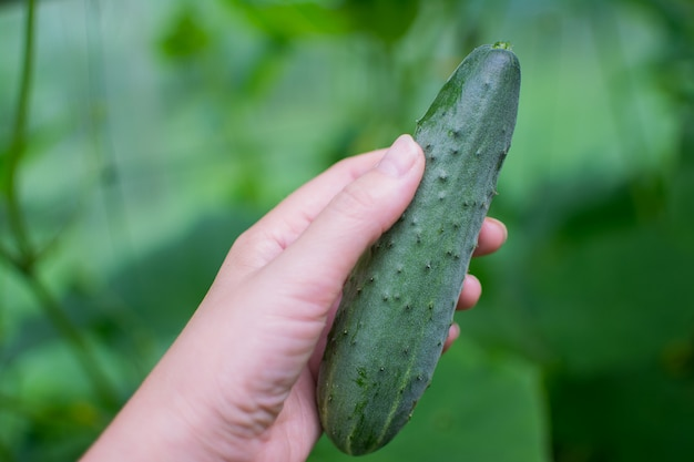 Young, green cucumbers growing on a branch in a greenhouse.