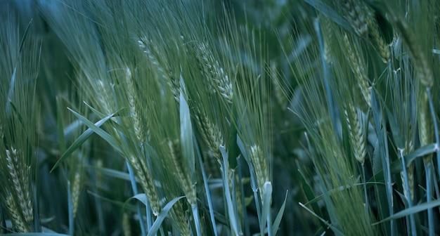 밀이나 보리의 젊은 녹색 귀. 클로즈업, 자연 배경.
