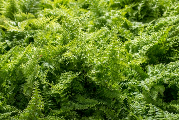 Young green fern background