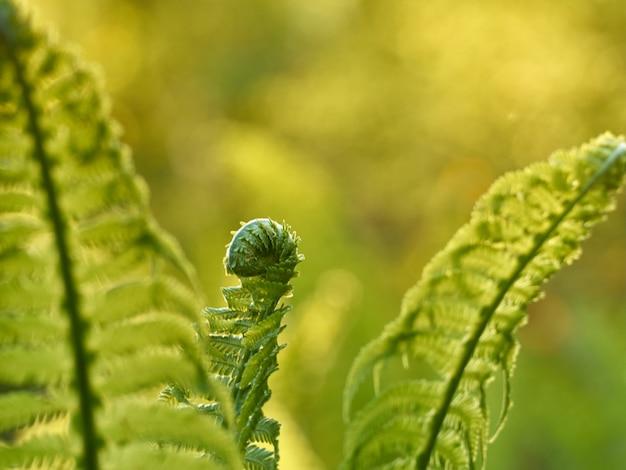 Молодой зеленый папоротник в весеннем лесу.