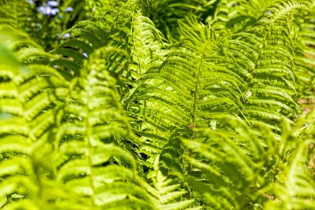 Молодые зеленые листья папоротника, освещенные солнечным светом