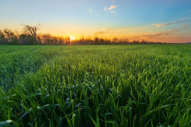 Молодое зеленое поле в солнечном свете / сельскохозяйственное поле молодой пшеницы украина