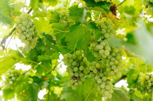 若い緑のブドウが枝にぶら下がっています。田舎のブドウ園。自然な背景。
