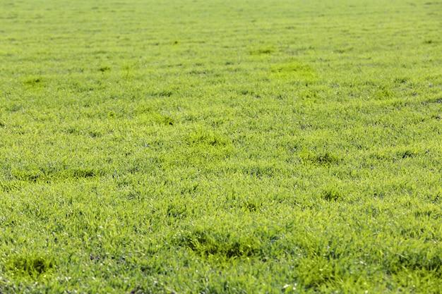 Поле молодой зеленой травы. Premium Фотографии
