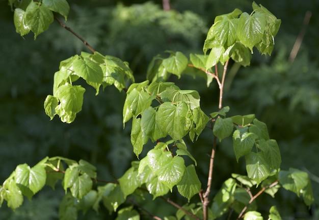 어린 녹색 잎은 태양 순결 부드러움에 아침 이슬에서 반짝입니다