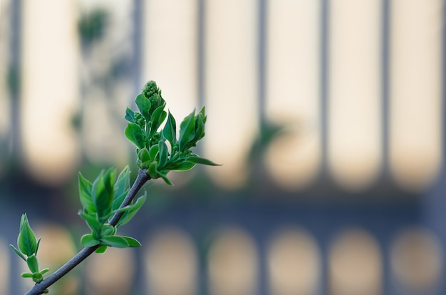 Young green leaves of lilac