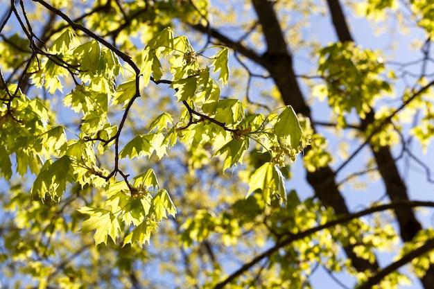 木の上のカエデの若い緑の葉、春の季節
