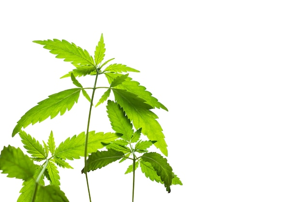 Молодые зеленые листья ростков конопли, изолированные на белом фоне