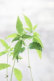 Молодые зеленые листья ростков конопли на светлом фоне