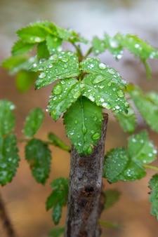 ぼやけた背景に雨が降った後、枝に若い緑の葉。季節、春。