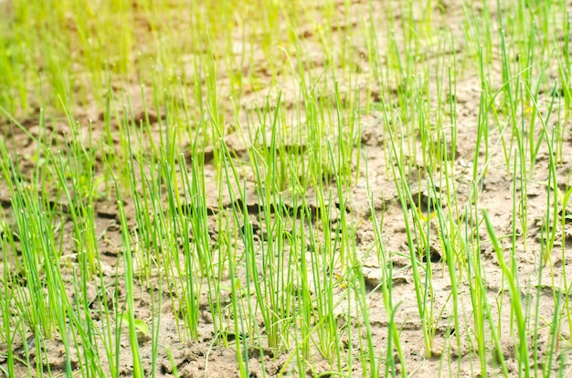 Young green leek or onions growing in the field or garden, farming, agriculture, vegetables