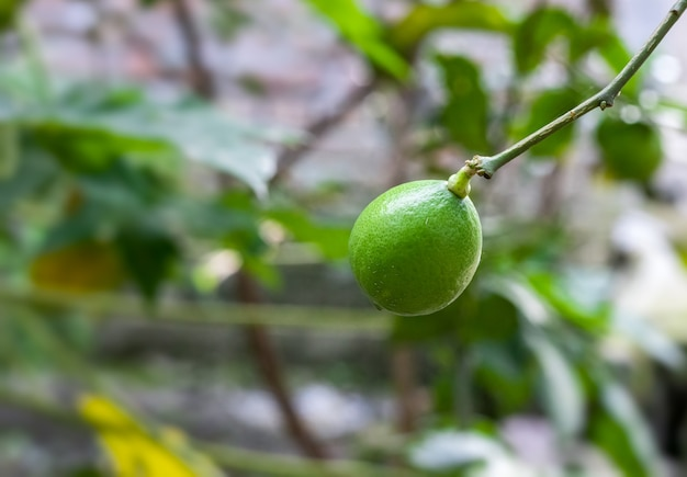 Young green lemon fruit isolated on green bokeh background in the garden