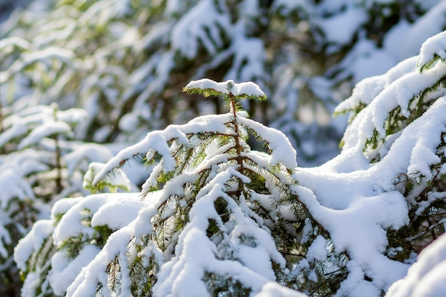 Young green lit by bright sun fir- tree branches covered with deep fresh clean snow on blurred white blue outdoors copy space background. merry christmas and happy new year greeting postcard.