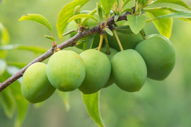 Young green plum fruit on a tree, fruit.