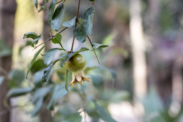 젊은 녹색 석류 나무에 가까이 프리미엄 사진