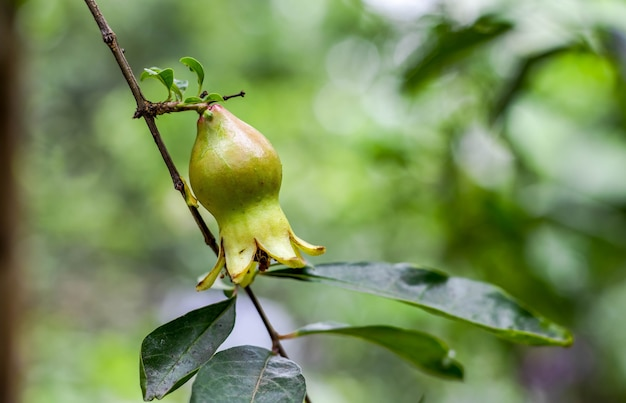 어린 녹색 석류는 가정 정원 내부의 나무에 대한 전망을 닫습니다.