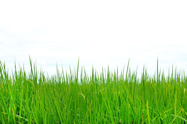 Young green rice in the rice fields against cloud sky background.